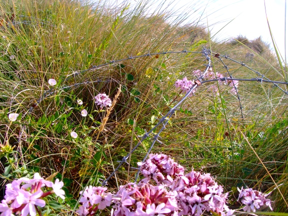 Flowers grow entangled in the barbed wire.