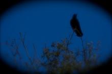 Black Bird at Night