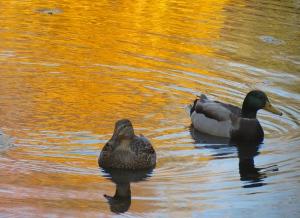 Longwood Gardens Ducks