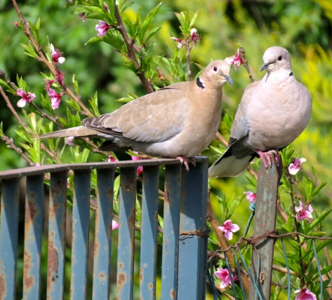 Doves pose at the entrance